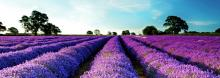 field-lavender-trees-sky-nature
